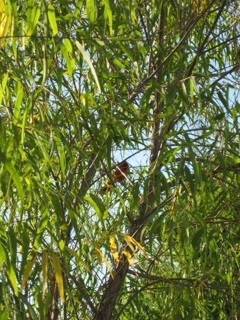 Red oak mo 18